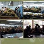Sorting Tobacco in the Factory